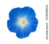 Morning Glory Isolated On White