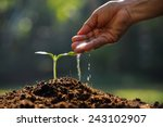 farmer's hand watering a young... | Shutterstock . vector #243102907