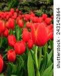 red  tulips in thailand garden | Shutterstock . vector #243142864
