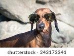 Dachshund Dog With Sunglasses...