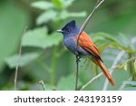 Small photo of African paradise flycatcher