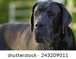 Handsome Great Dane Blue  With...