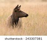 An Elk Cow In An Open Meadow I...