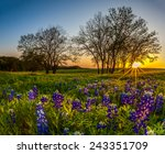 texas bluebonnet filed at... | Shutterstock . vector #243351709