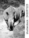 Two rhinoceros on the move in this black and white image.
