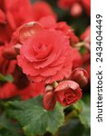 Red Begonia Flower Blooming In...