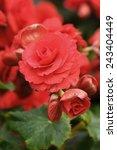 Red Begonia Flower Blooming In...