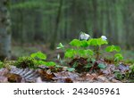 Wood Sorrel Plant Closeup...