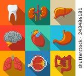 internal human organs flat long ... | Shutterstock .eps vector #243486181