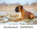 Stock photo red boxer dog lying down 243539641