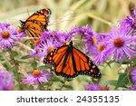 Beautiful monarch butterflies in garden of purple asters.  Soft focus background. - stock photo