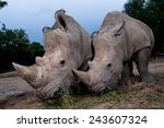 Two White Rhino Are Close Up In ...