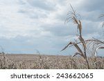 Golden Brown Dry Corn Field...