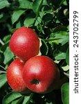 apples on tree   Shutterstock . vector #243702799
