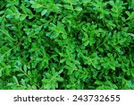 small  green leaves background   Shutterstock . vector #243732655