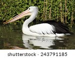 A Pelican Is Seen Swimming At...