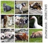farm animals collage | Shutterstock . vector #243817645