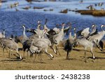 Crane Meeting At The Lake.
