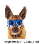 a small chihuahua mix with... | Shutterstock . vector #243886705