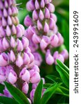 Purple Flowers Of The Lupine ...