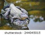 Alligator family - Mother alligator carries her child alligator safely in river water