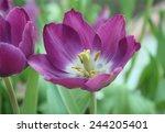 Purple Tulip With Bokeh