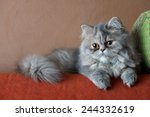 persian cat on the couch | Shutterstock . vector #244332619