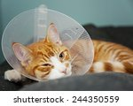 Ginger Cat With Veterinary Con...