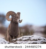 Big Horn Sheep Full Curl - Fine Art prints