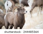 Big Horn Sheep Ram Ewes - Fine Art prints