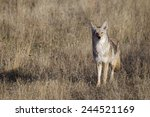 Small photo of Coyote in prairie grassland habitat Great Plains CRP land environment & Conservation Reserve Program Western United States America