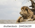 Male Lion Sitting On A Rock...