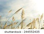 wild grasses which have white... | Shutterstock . vector #244552435