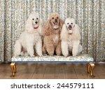 Shot Of Three Miniature Poodle...