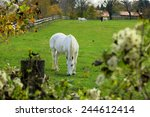beautiful grey horse grazing  | Shutterstock . vector #244612414