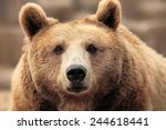 Wild Brown Bear Resting