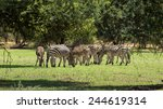 A Group Of Zebras Grazing At...