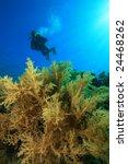 scuba diver swims over lush... | Shutterstock . vector #24468262