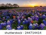 Texas Wildflower    Bluebonnet...