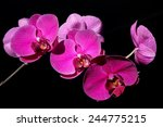 orchid flowers on black... | Shutterstock . vector #244775215
