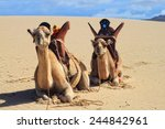 Camels On The Beautiful...