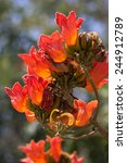 Small photo of Spathodea flowers,African tulip tree, Fire bell, Fouain tree, Flame of the Forest.