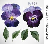 pansy and leaves  watercolor ... | Shutterstock .eps vector #244947451