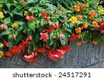 Colorful double blossom hanging begonias in large stone planter. - stock photo