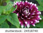 Beautiful purple and white grand dahlia in full bloom.  Close-up with extremely shallow dof.  Selective focus on center of dahlia. - stock photo