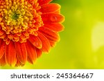 Orange Gerbera Daisy Flower On...