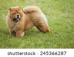 chow chow dog | Shutterstock . vector #245366287