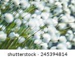 Cotton Grass Close Up