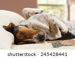 Stock photo treeing walker coonhound dog lying upside down on human bed with quilt looking tired lazy sleepy 245428441