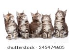 Stock photo large group of small maine coon cats looking up isolated on white background 245474605